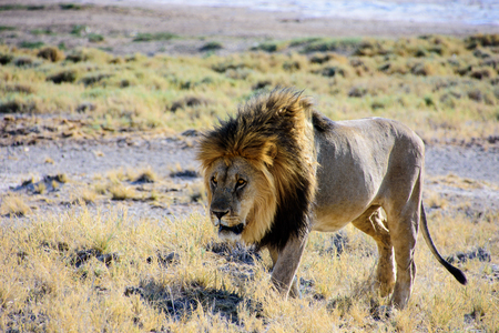 male lion on the move Stock Photo