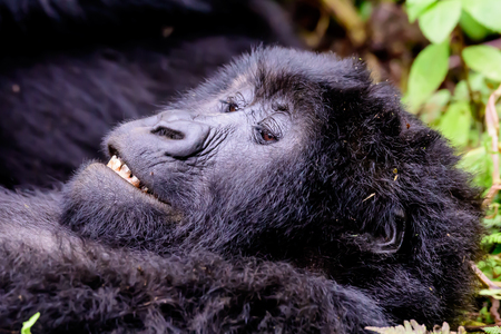 Close up of the face of a grinning mountain gorilla