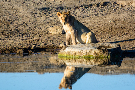 Lioness and her reflection sitting at a waterhole Stock Photo