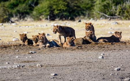 Lion cubs in a creche
