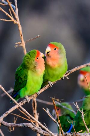 twee romantische rooskleurige onder ogen gezien dwergpapegaaien