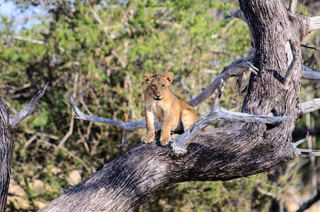 forlorn Lion cub sat in a tree