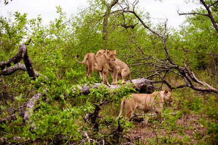 lionesses on a log Stock Photo