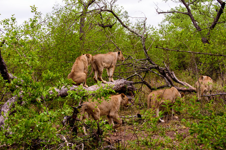 Lionesses on the move