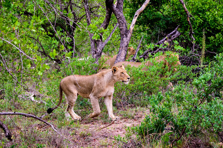 Lioness in hunting mode Stock Photo