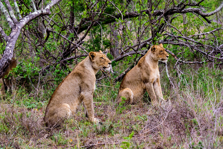 Two lionesses looking at a potential victim Stock Photo - 92529807