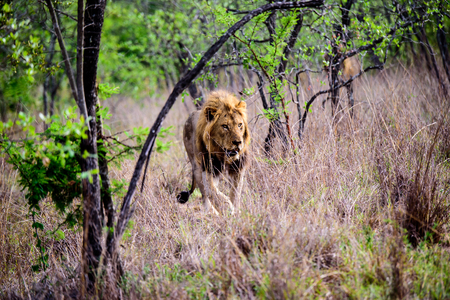 Male Lion walking through the undergrowth
