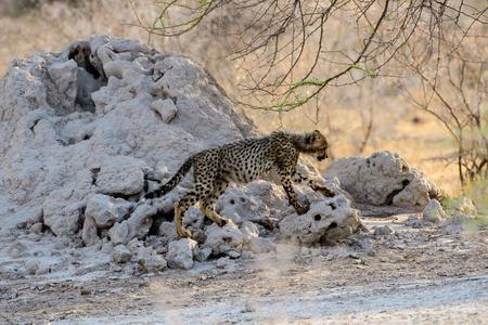 Cheetah cub on the move