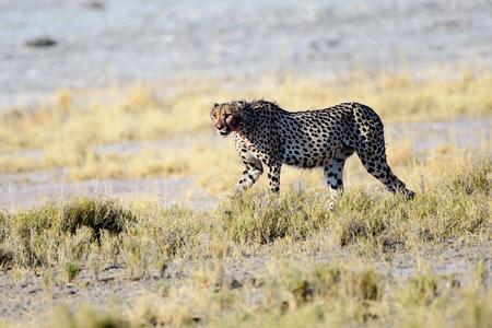 Cheetah  on the prowl Stock Photo