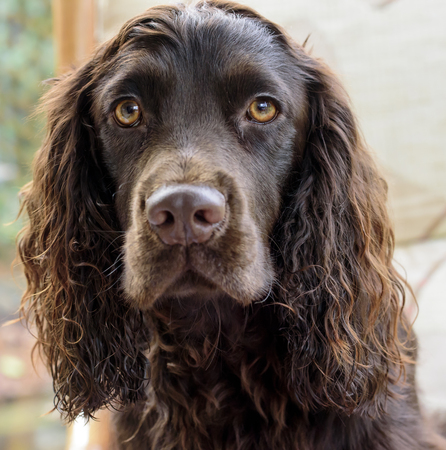 Beautiful face of a Chocolate cocker spaniel