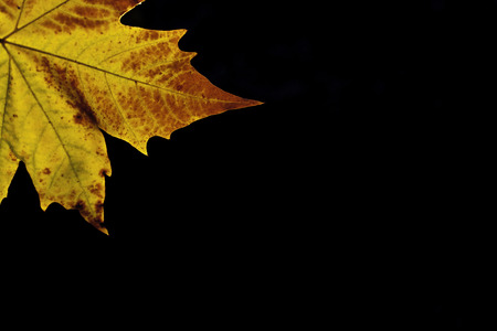 maple leaf autumn II