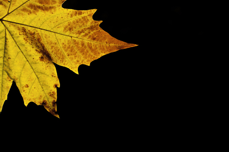 maple leaf autumn Stock Photo
