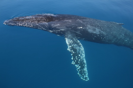 blowhole: Humpback Whale migrating Australia