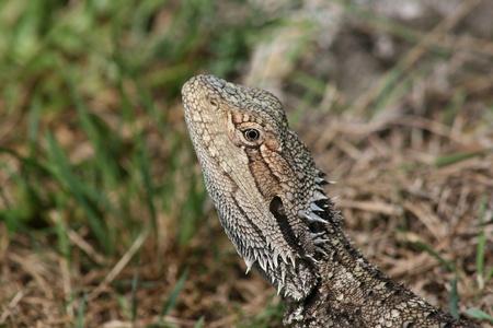 bearded dragon lizard: Bearded dragon lizard Australia