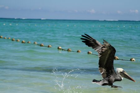 Pelican flying low above the sea water with some buoys on the bottom delimiting the water