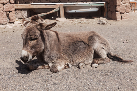 Adorable donkey lying on ground and sleeping on sunny day on farm