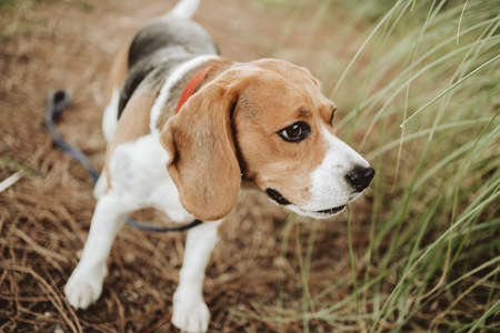 beagle dog tracking by scent