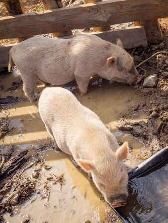 two pigs drinking and looking for food on the ground of a farm