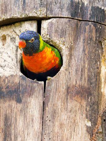 Rainbow lorikeet peeking out of a bird house Reklamní fotografie