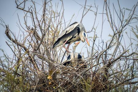 Couple storks mating in their nest