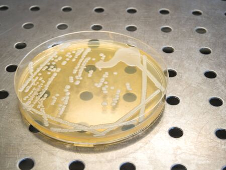 petri dish with isolated bacteria colonies in a laminar flow cabinet of a bacteriologial laboratory Stockfoto