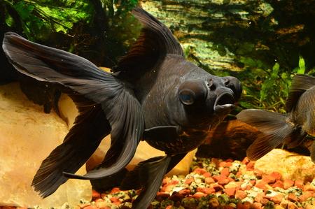 Black moor, goldfish