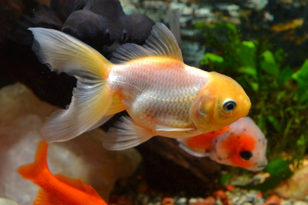 oranda: Goldfish white oranda