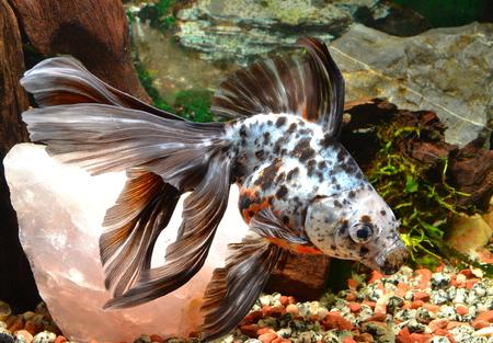 cyprinidae: Goldfish, long tail Stock Photo