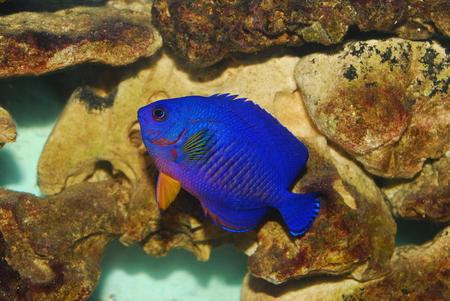 angelfish: twospined angelfish