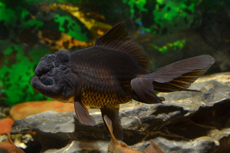 oranda: Goldfish, black Oranda. Stock Photo