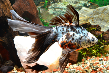 coldwater: Goldfish, variegated Cola fan. Stock Photo