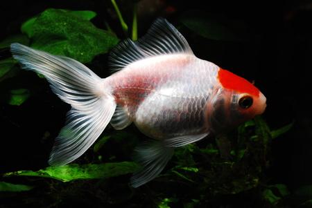 fantail: Goldfish, fantail red beret