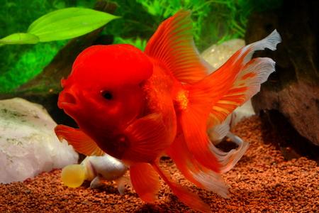 oranda: Goldfish, red Oranda