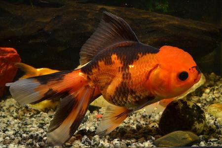Oranda bicolor.goldfish