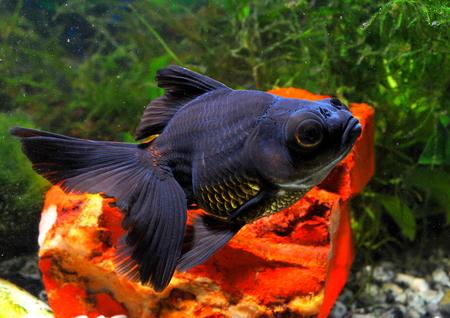 Goldfishm Moor black