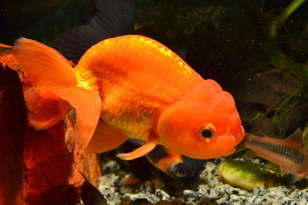carassius auratus: Ranchu Orange