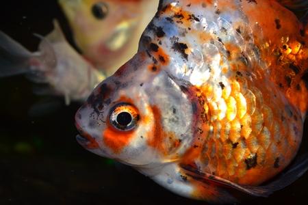 carassius auratus: Ryukin, close-up