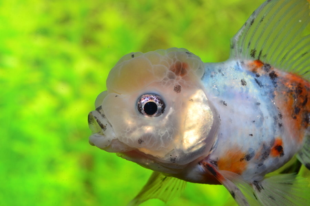 Oranda, detail Stock Photo