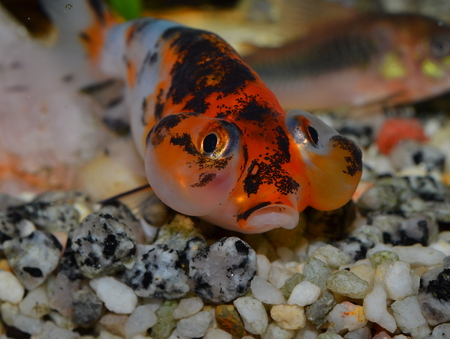 carassius auratus: Bubble eyes, goldfish