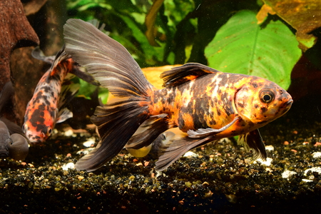 carassius auratus: Chinese bristol shubunkin fish
