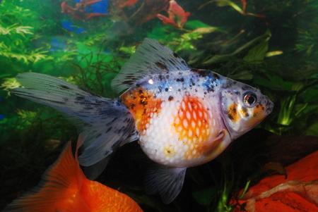 carassius auratus: Pearl scales fish
