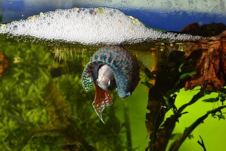 Paradise spawning fish, Macropodus opercularis