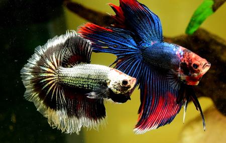 beta fighter fish