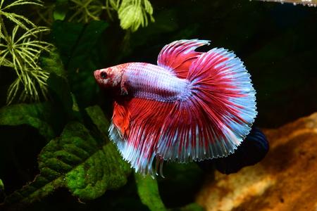 beta splendens male fuchsia, pink 版權商用圖片