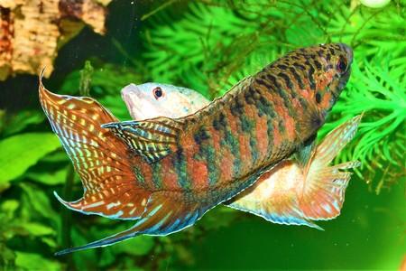 Spawn paradise fish. Stock Photo