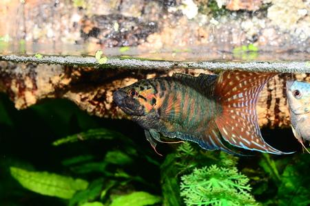 Macroopodus opercularis male exhibiting itself to female Stock Photo
