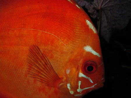 Disco fish, next detail Stock Photo