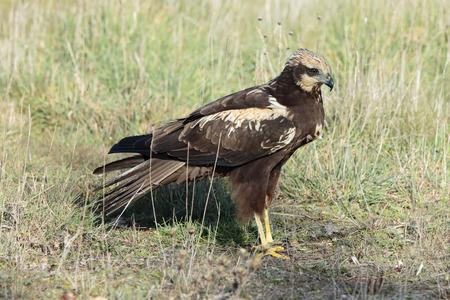prey: HarrierCircus aeruginosus Marsh, stalking prey STI