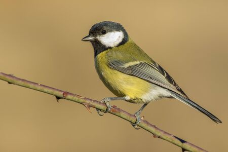 Tit, ( Parus major ) perched on a branch in the sun Foto de archivo