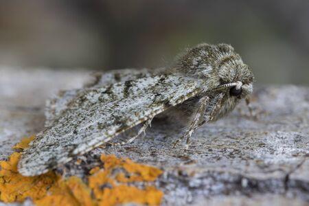 phygalia pilosaria up close, perched on the bark of a tree. Zdjęcie Seryjne